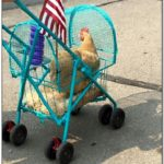 Where Can I Buy A Chicken Stroller
