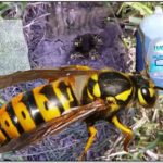 How To Get Rid Of Yellow Jackets Underground