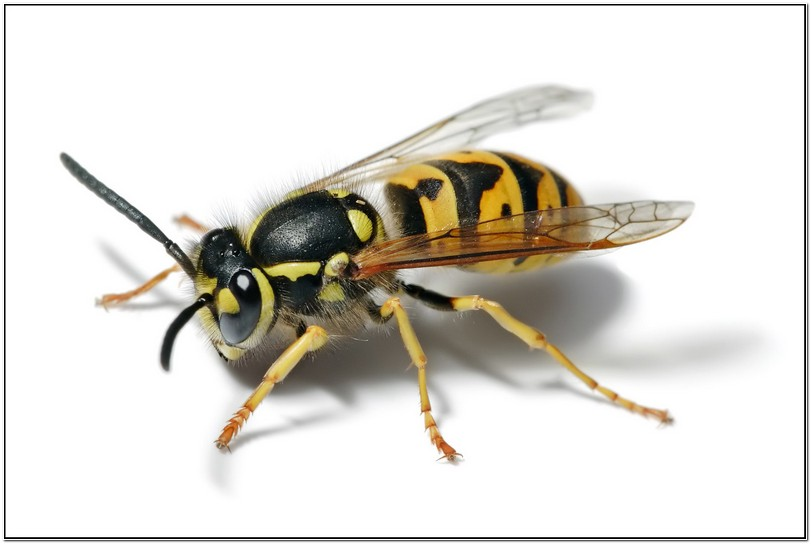 What Is A Yellow Jacket Wasp